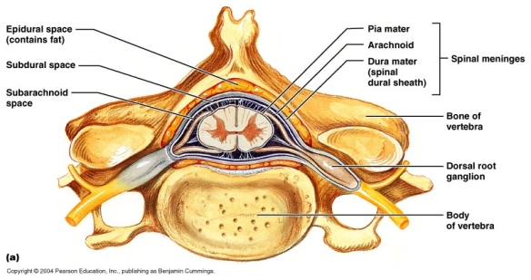 Medical Corner Anatomy Of A Spinal Nerve It Is What It Is