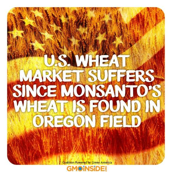 US Wheat Market suffers ....