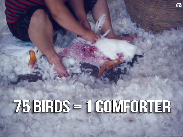 Bird Down Feathers Down Production Birds Abused