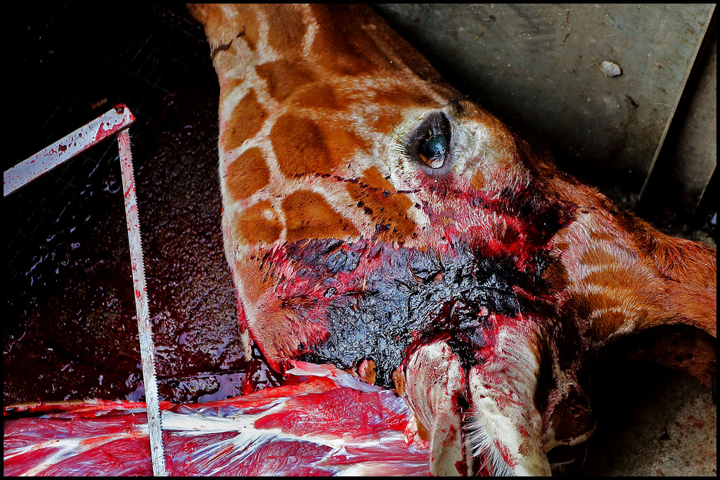 world europe anger erupts over danish zoos decision to put down a giraffe.