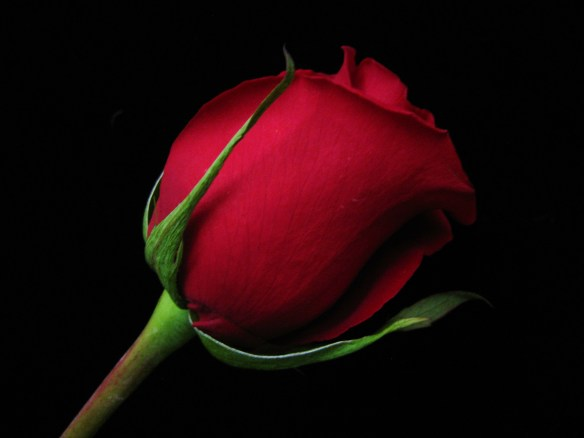 Red Rosebud