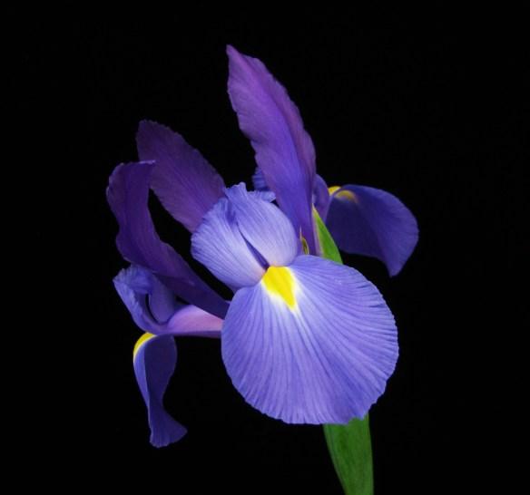 Blue Lavender Iris