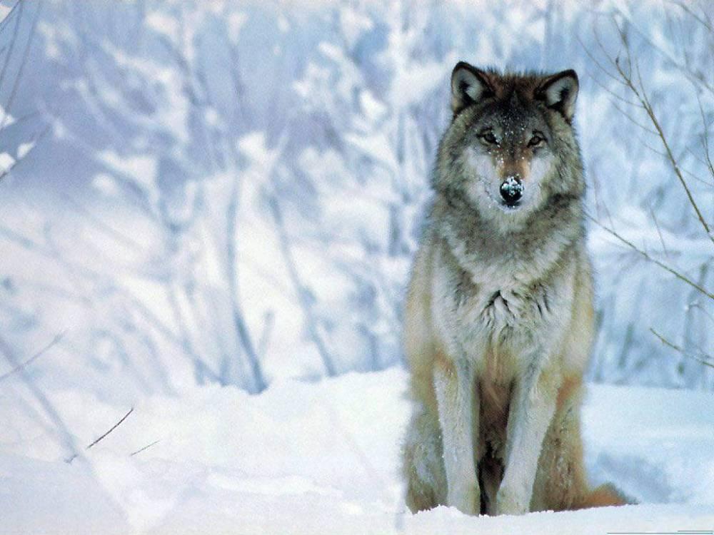Wolf Spirit Totem ..... symbolism! (2/6)