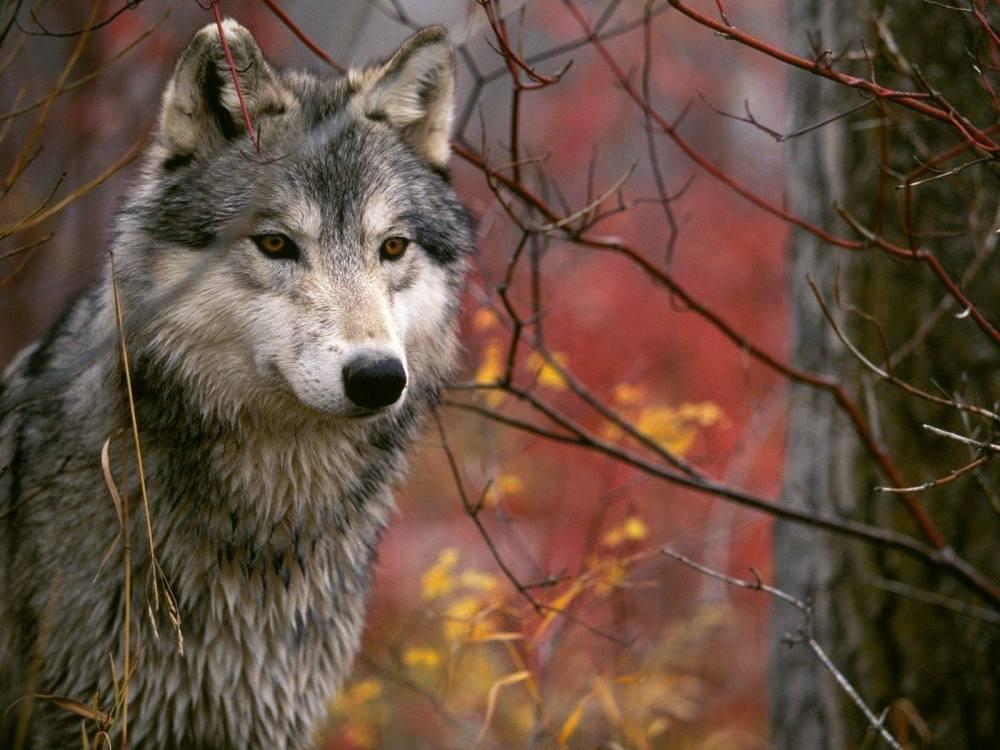 Wolf Spirit Totem ..... symbolism! (1/6)