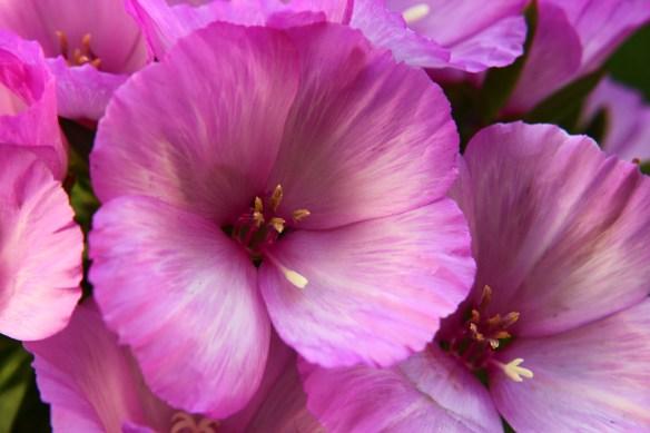 Lavender Godetia Flowers