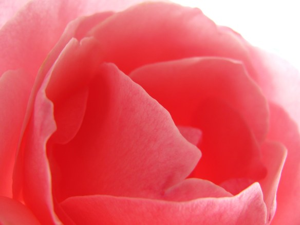 Bright Light Rose