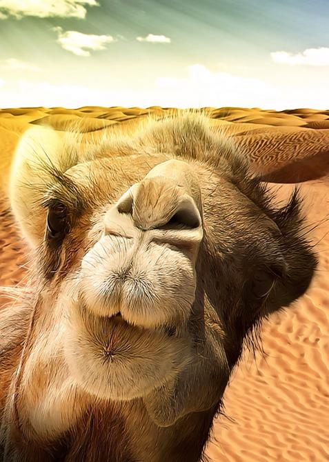 camel-hump-day-caleb-Wednesday-cute