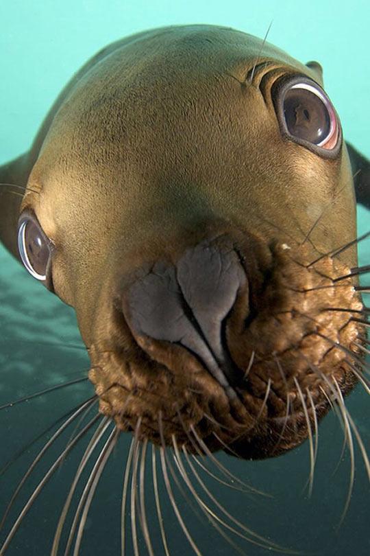 cute-seal-ocean-underwater-staring