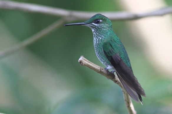 Green-crowned brilliant female, in Costa Rica, 15 March 2014