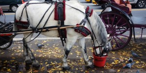 Debate Over NYC Carriage Horses Intensifies After 2 Horses Collapse In A Month