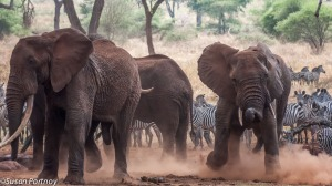 Bull elephants fight in Tanzania