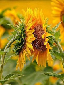 SunflowersDouble