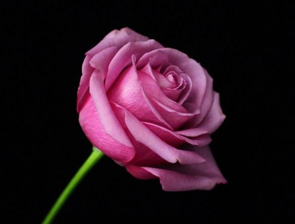 9.26.14.rose.jpeg