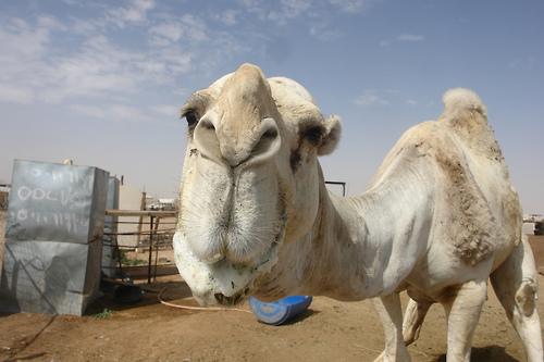 camel-hump-day-wednesday-caleb