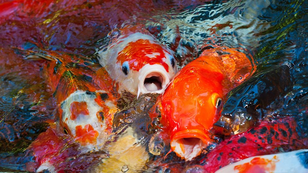 At the end of the day meaning of the koi fish it for Oldest koi fish