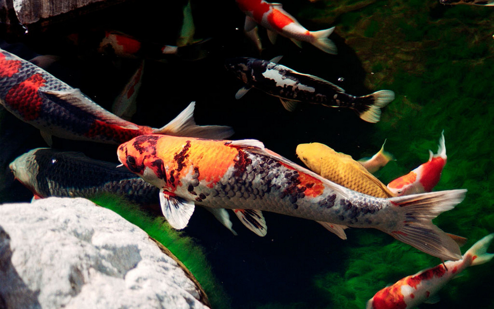 At the end of the day meaning of the koi fish it for Koi goldfisch