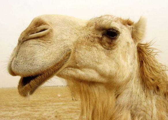 camel_up_close
