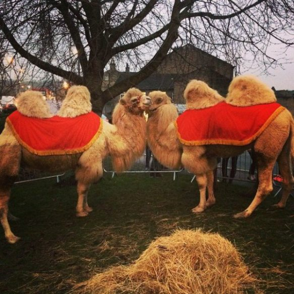 Camels in Yorkshire