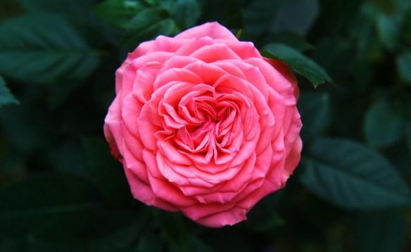1.17.15.rose.jpeg