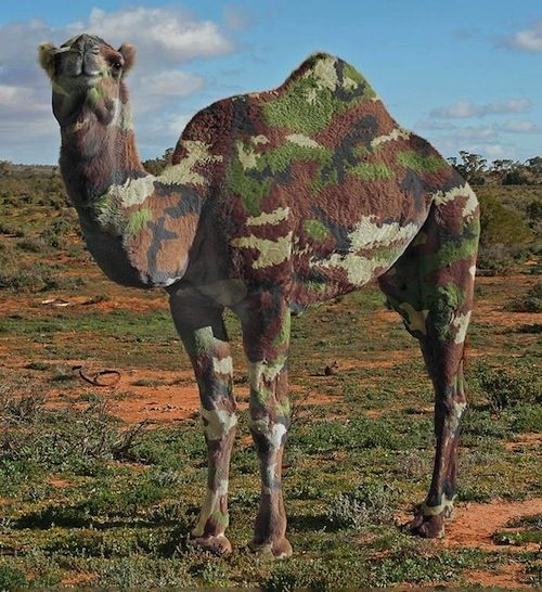 Camelflage-camel-hump-day-wednesday-caleb