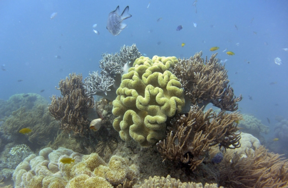 Fish swim through coral in the Great Barrier Reef.