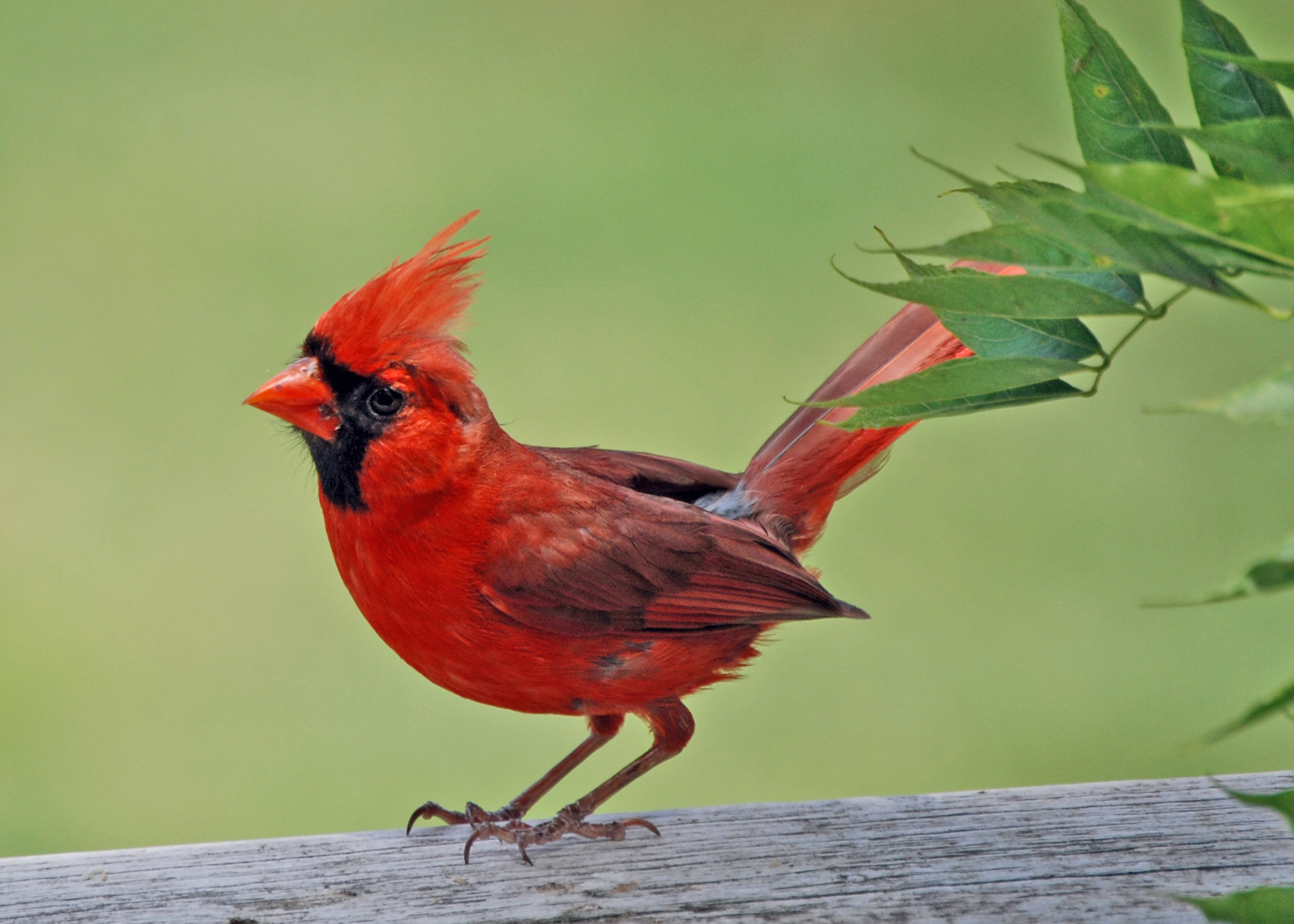 The red birds have a special meaning cardinals it is what it is redflow buycottarizona Images