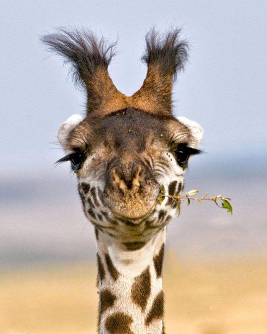 FunGiraffe