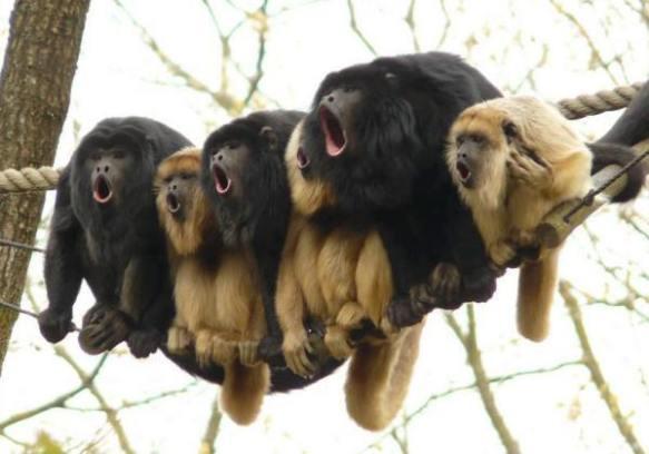 monkey-sing-funny-howl