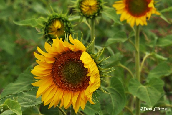 the lions flower - sunflower
