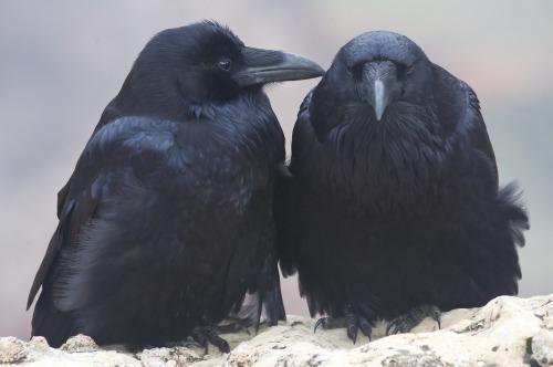 raven-crow-funny-T.G.I.F.-TGIF