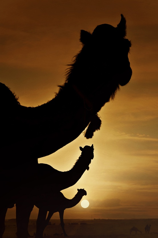 camel-hump-day-caleb