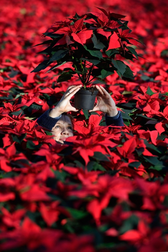 LOANHEAD, SCOTLAND - NOVEMBER 18: Edite Galite from Latvia, holds up a Poinsettia plants ready to be dispatched for the Christmas season at the Pentland Plants garden centre on November 18,2016 in Loanhead, Scotland. The garden centre grows around 100,000 poinsettias, a traditional Christmas house plant. The Midlothian business supplies a host of garden centres and supermarkets across Scotland and the north of England in time for the festive season. (Photo by Jeff J Mitchell/Getty Images)