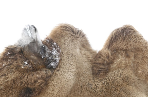 camel-humps-wednesday-hump-day