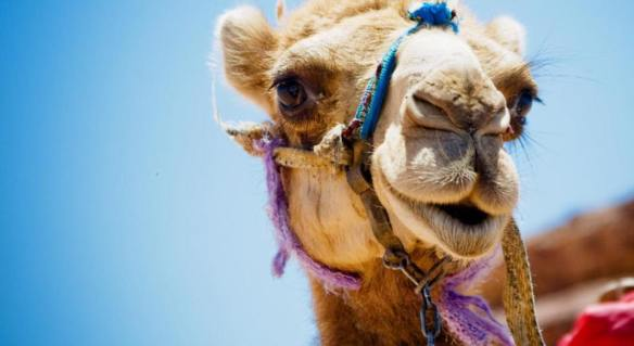 camel-wednesday-hump-day