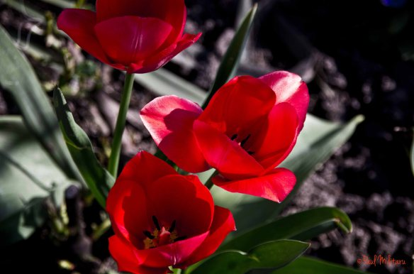 red tulips - tendencies and romance