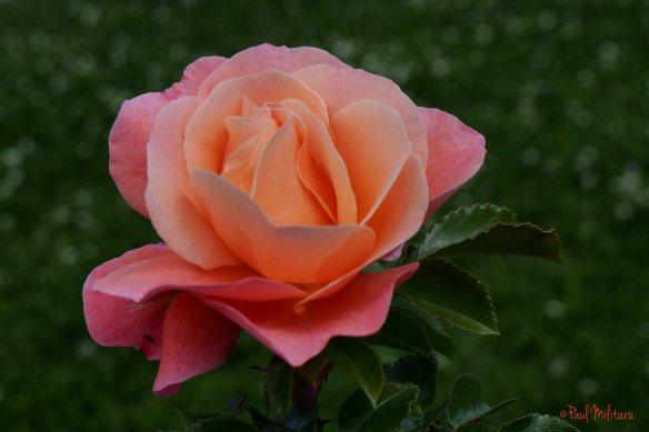 orange & pink rose