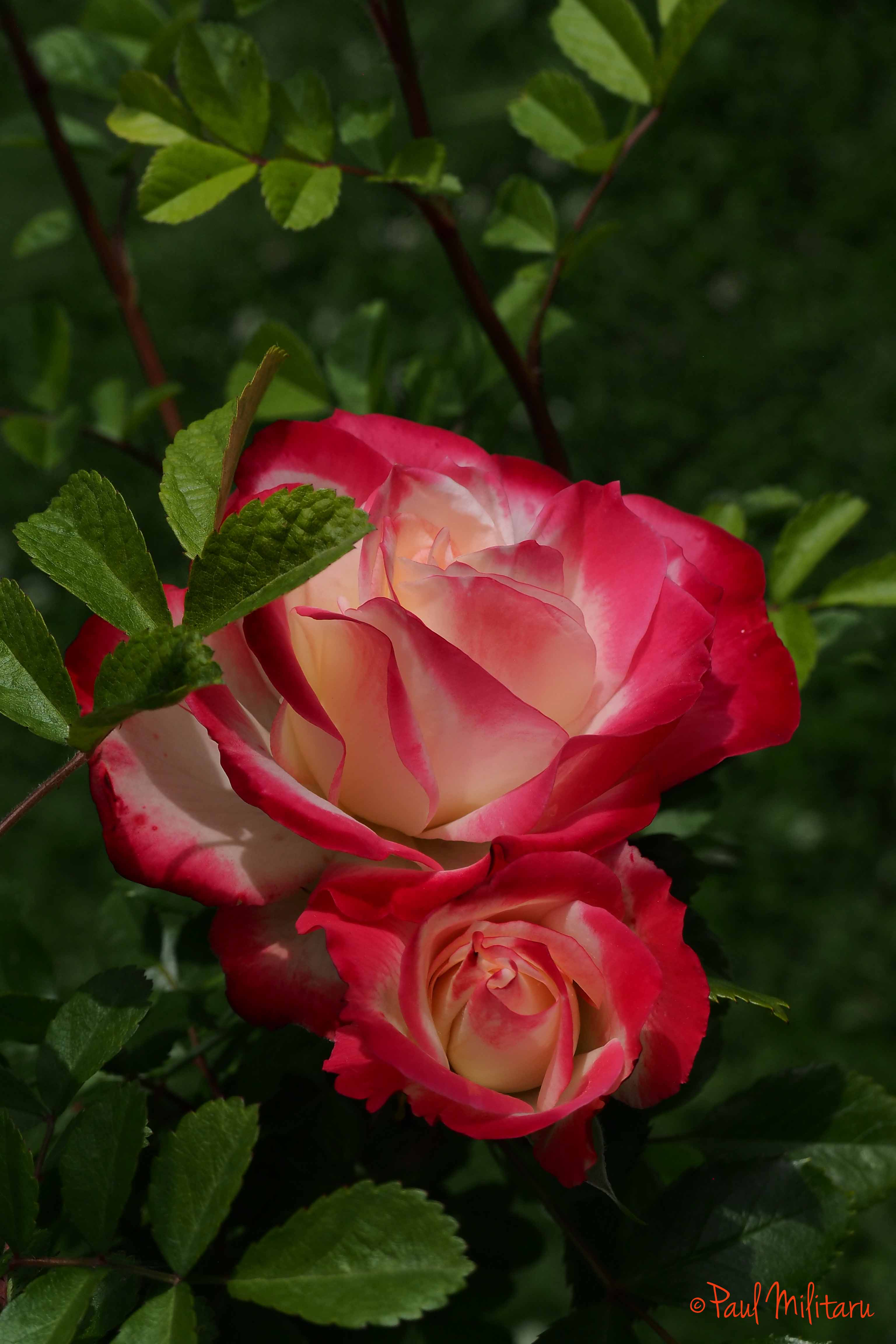 two elegant roses